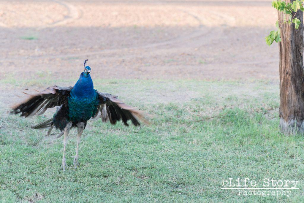 2015-9-27_Engagement_Sahuaro Ranch Park_LaurenJeff (9 of 16)
